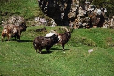 Oa wild goats